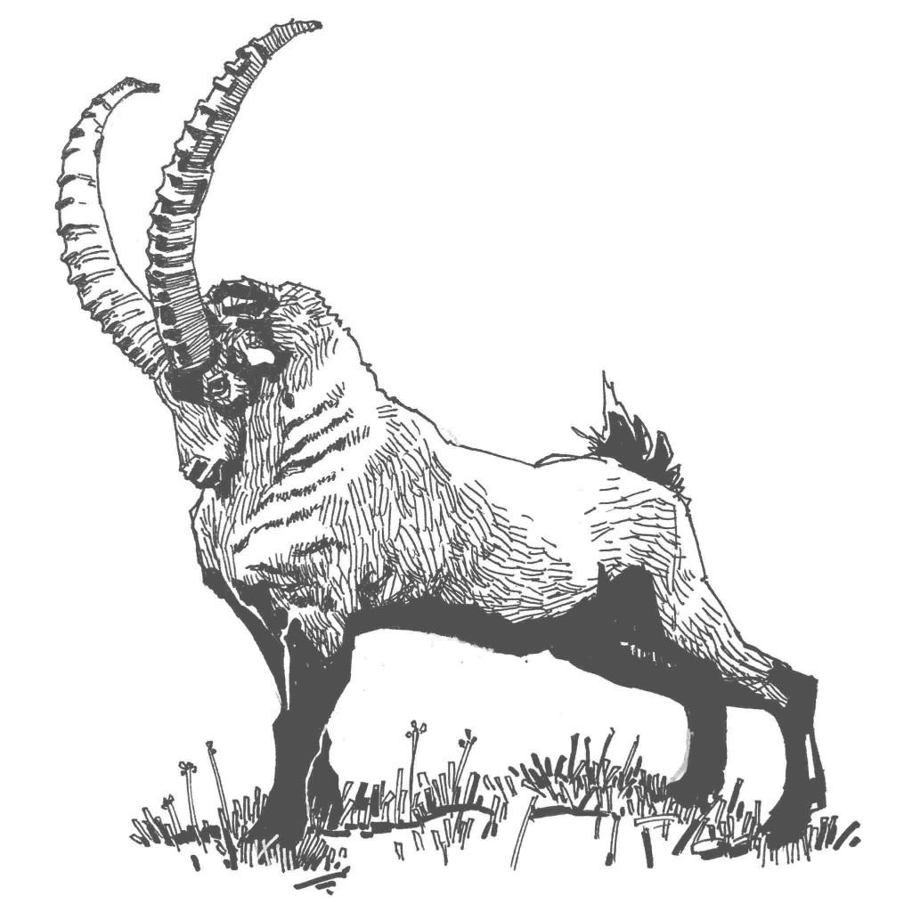 Schwarz-weiß Zeichnung kampfbereiter Steinbock - bildlich für Wettbewerbsrecht